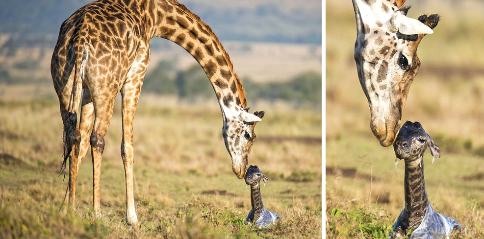 http://www.catersnews.com/stories/animals/heartwarming-pictures-show-giraffe-giving-birth-to-baby-before-lovingly-cleaning-it/